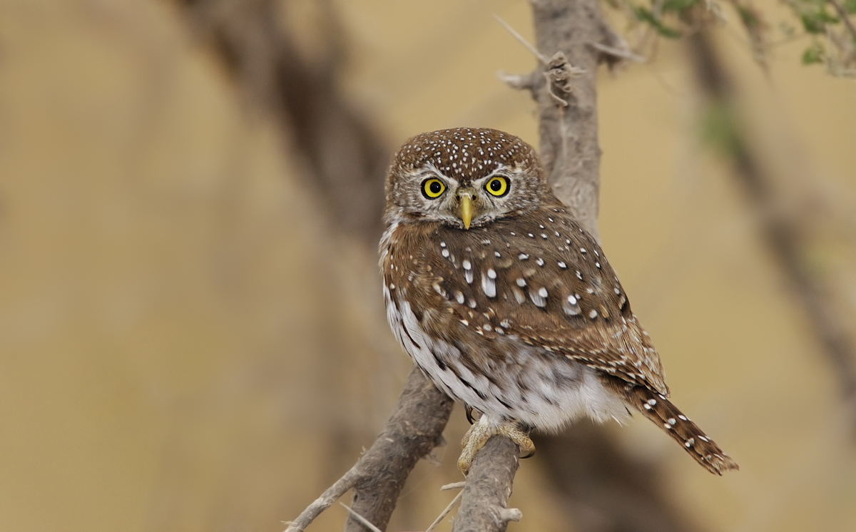 African Barred Owlet on a branch