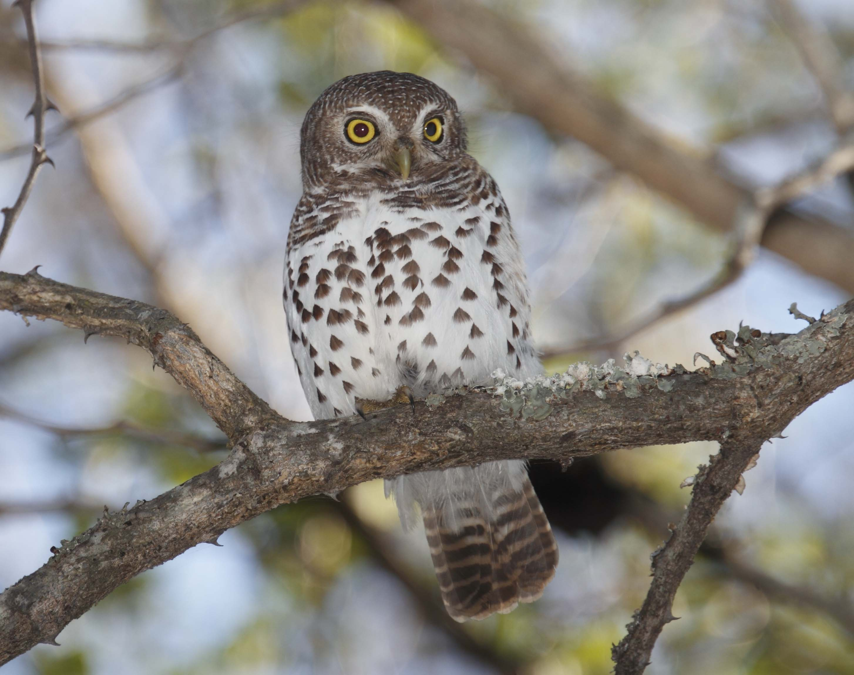 African Barred Owlet on a tree
