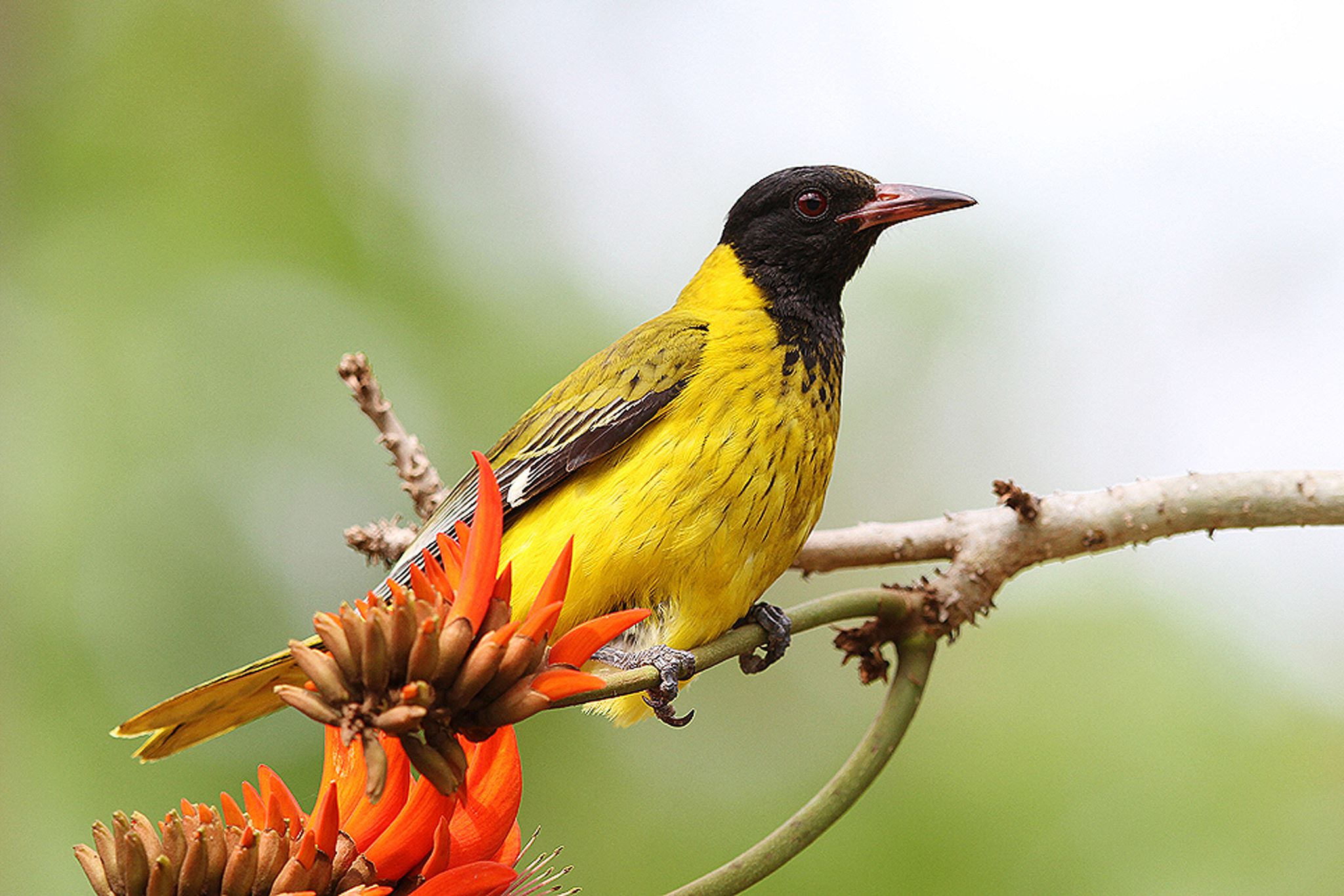 African Black-headed Oriole on top