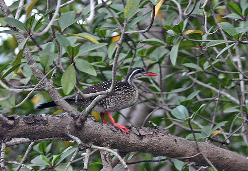 African Finfoot on a tree