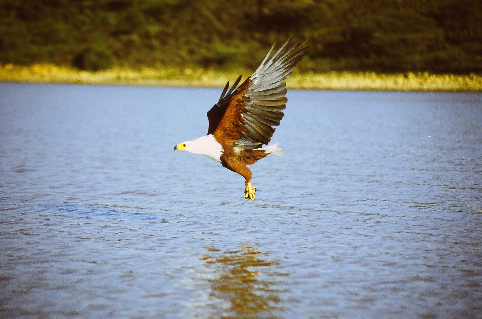 African Fish Eagle above water