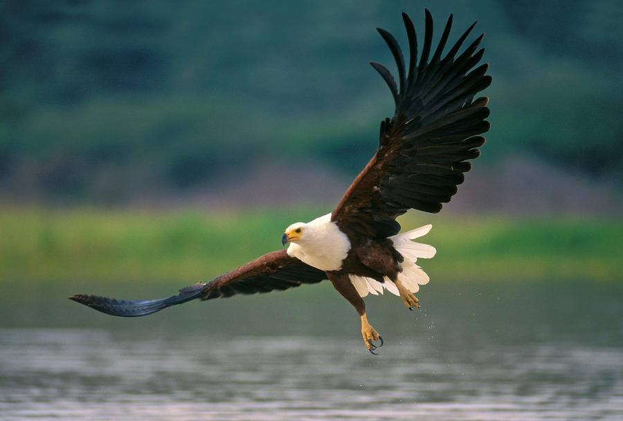 African Fish Eagle sky