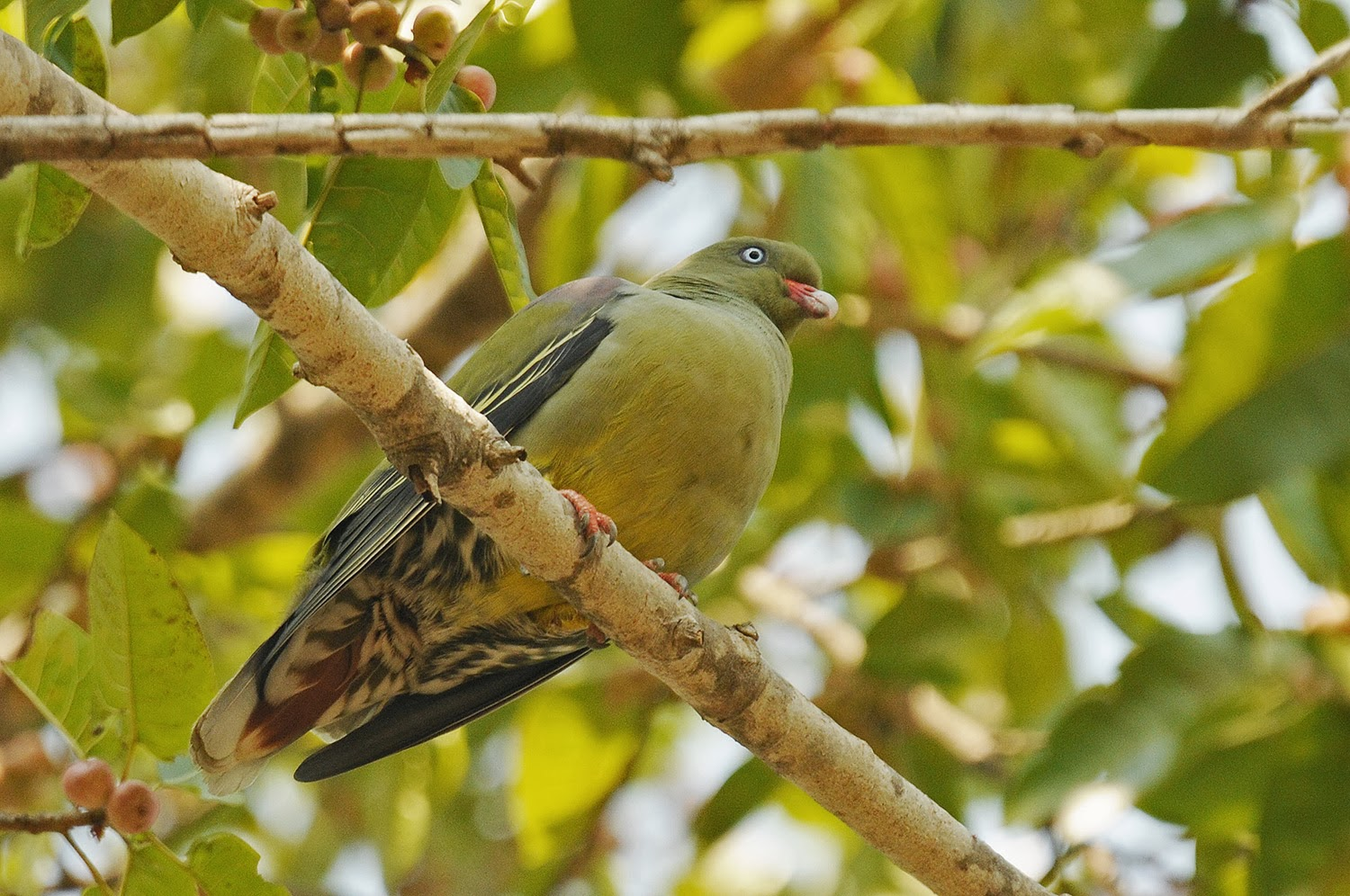 African Green Pigeon on a branch