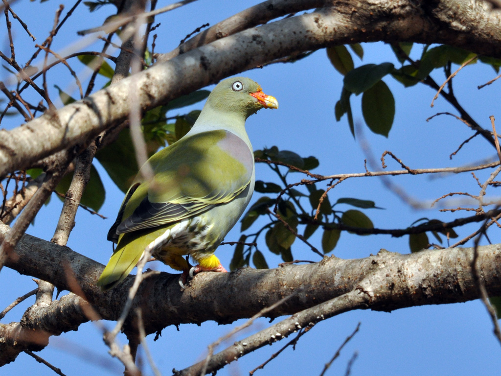 African Green Pigeon on a tree