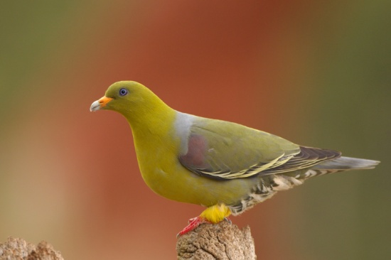 African Green Pigeon on top