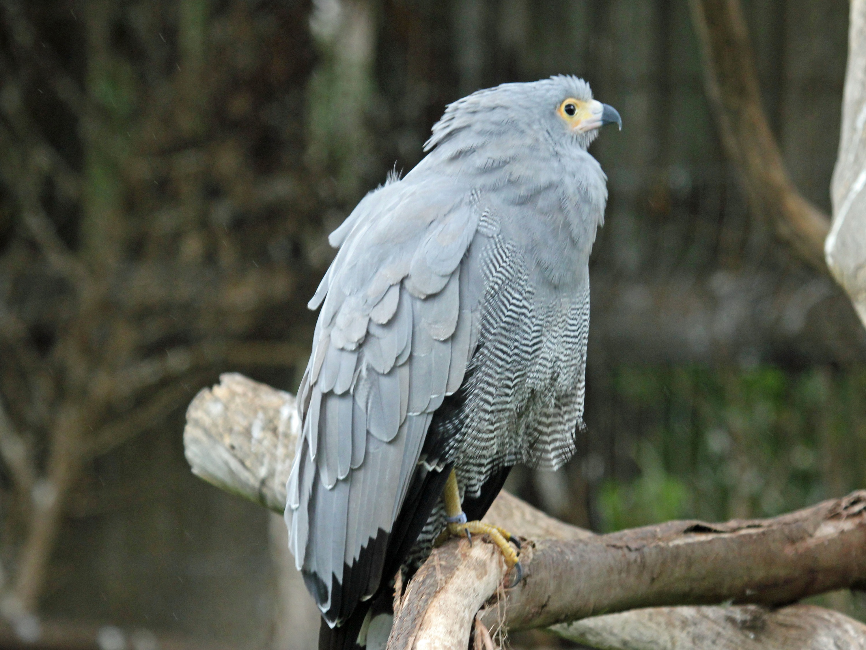 African Harrier-Hawk on a branch