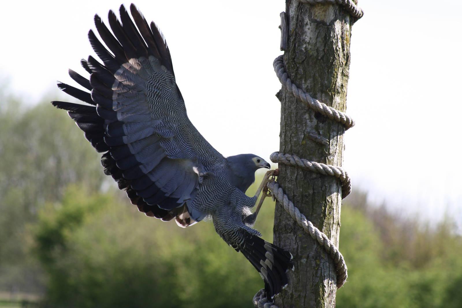 African Harrier-Hawk on a tree