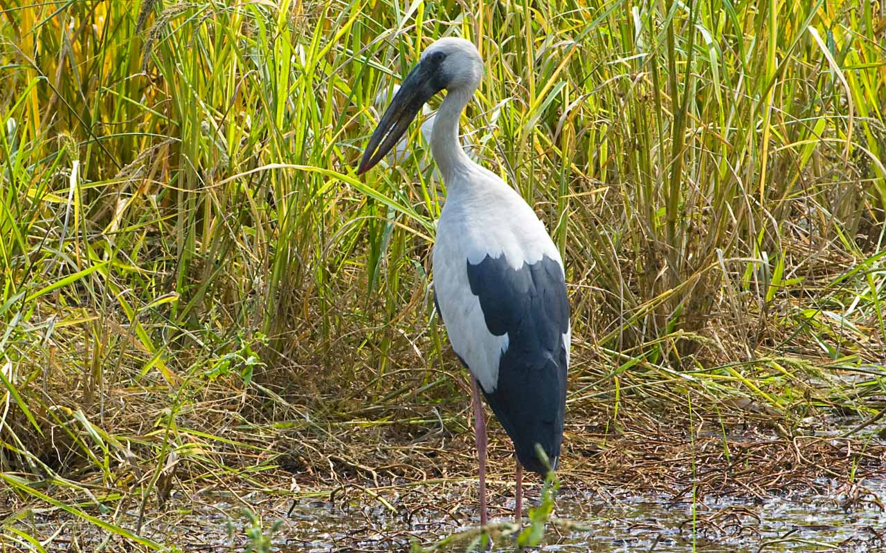African Openbill in the grass