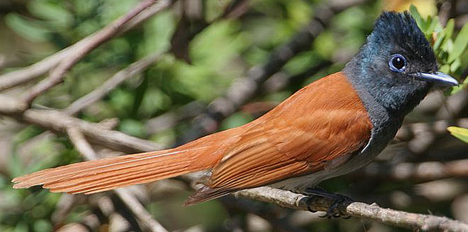 African Paradise-flycatcher in jungle