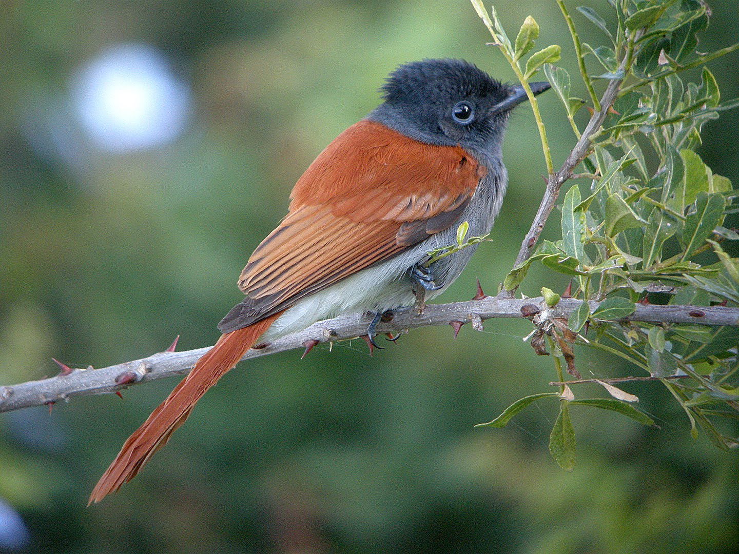 African Paradise-flycatcher on a branch