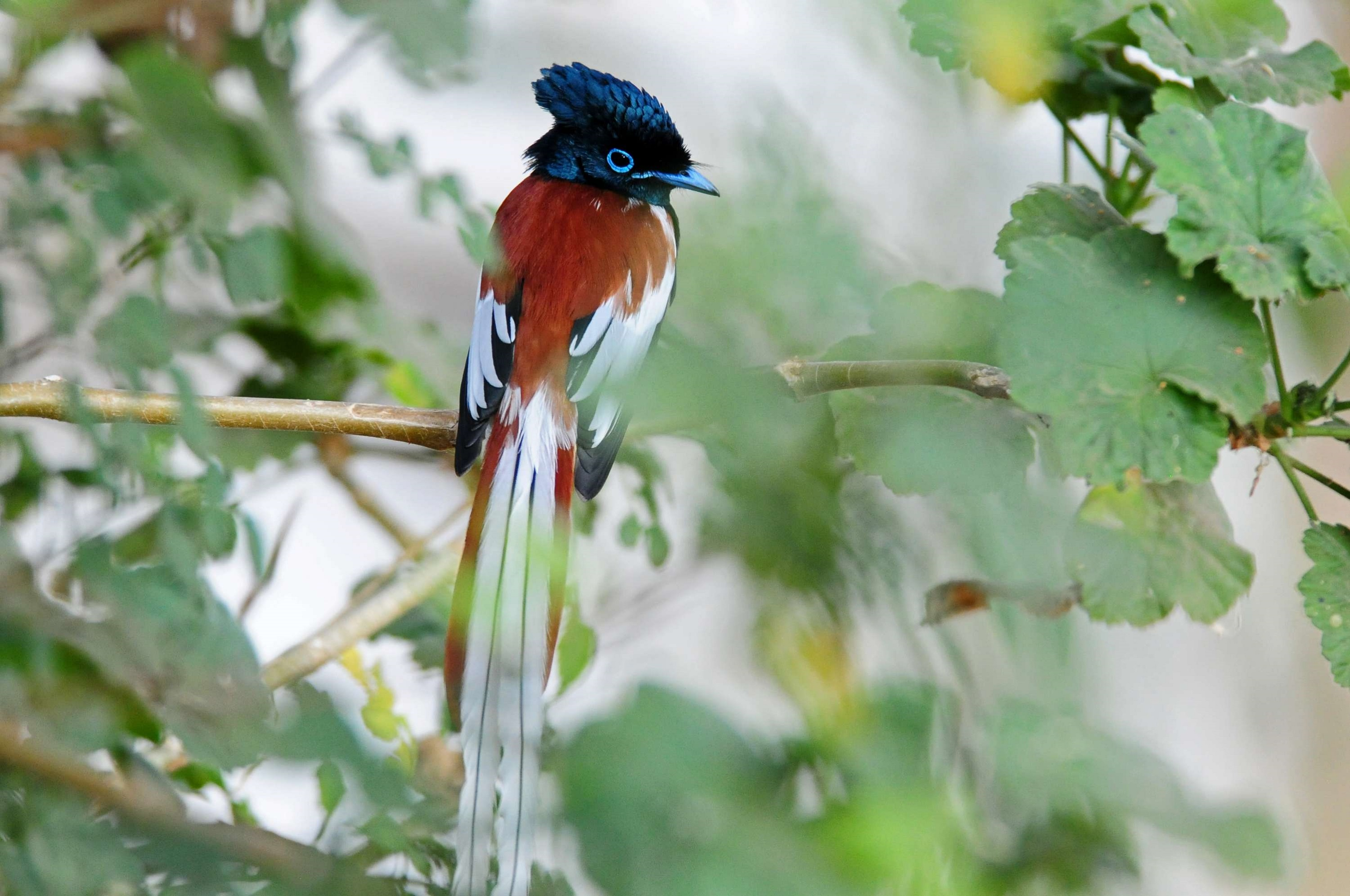 African Paradise-flycatcher on a tree