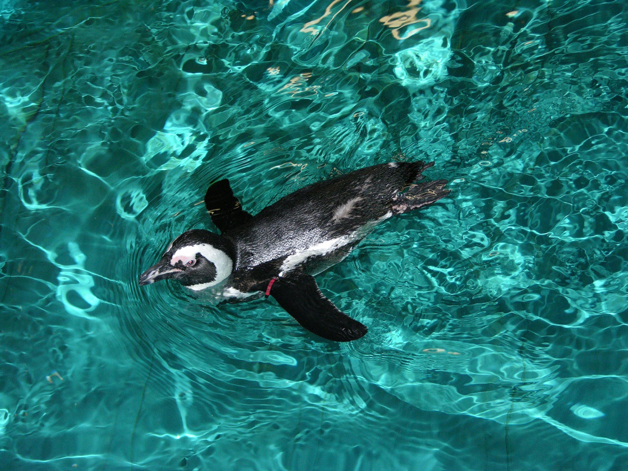 African Penguin swims
