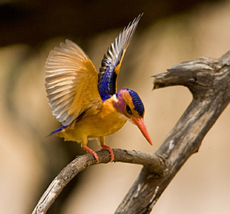 African Pygmy Kingfisher go to sky