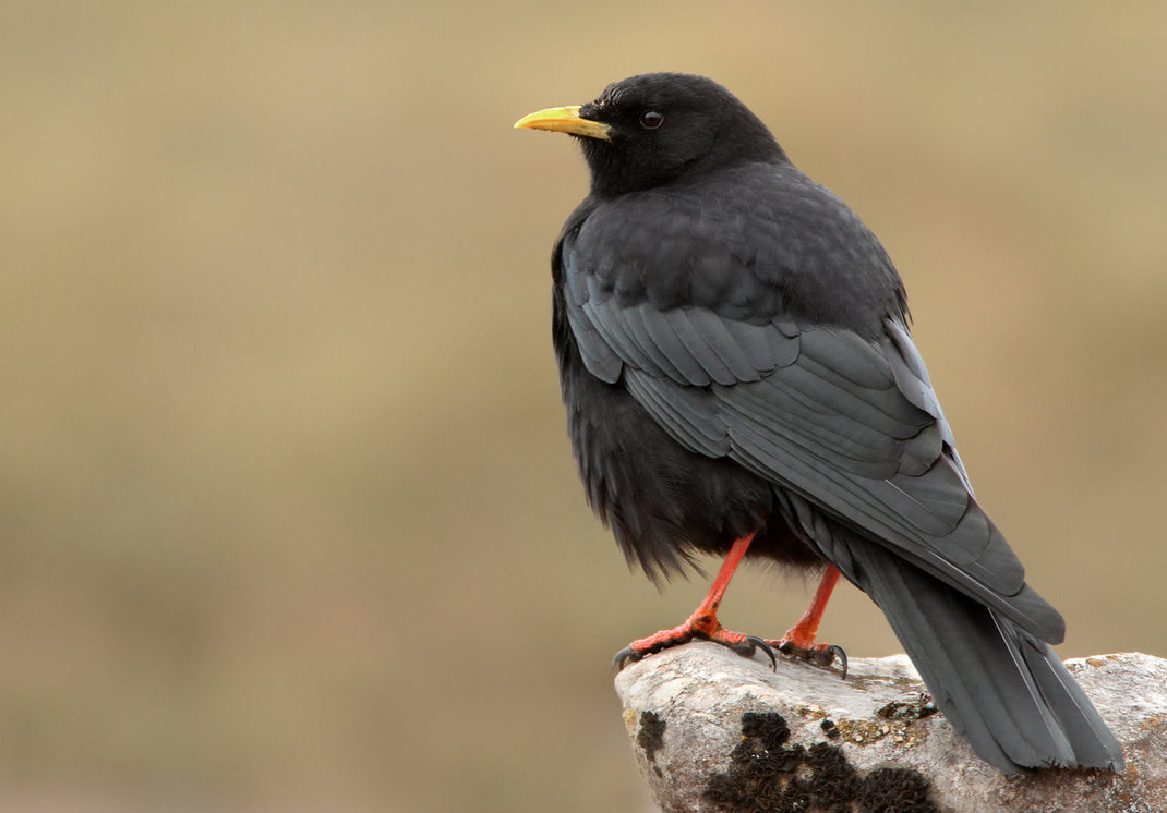 Alpine Chough on the mountain