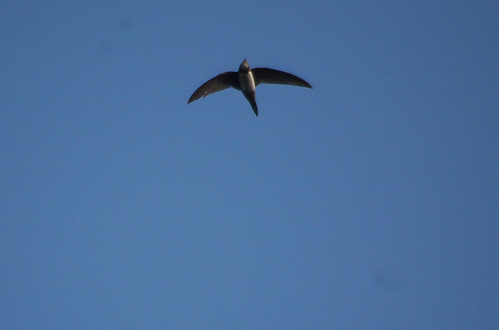Alpine Swift makes a loop
