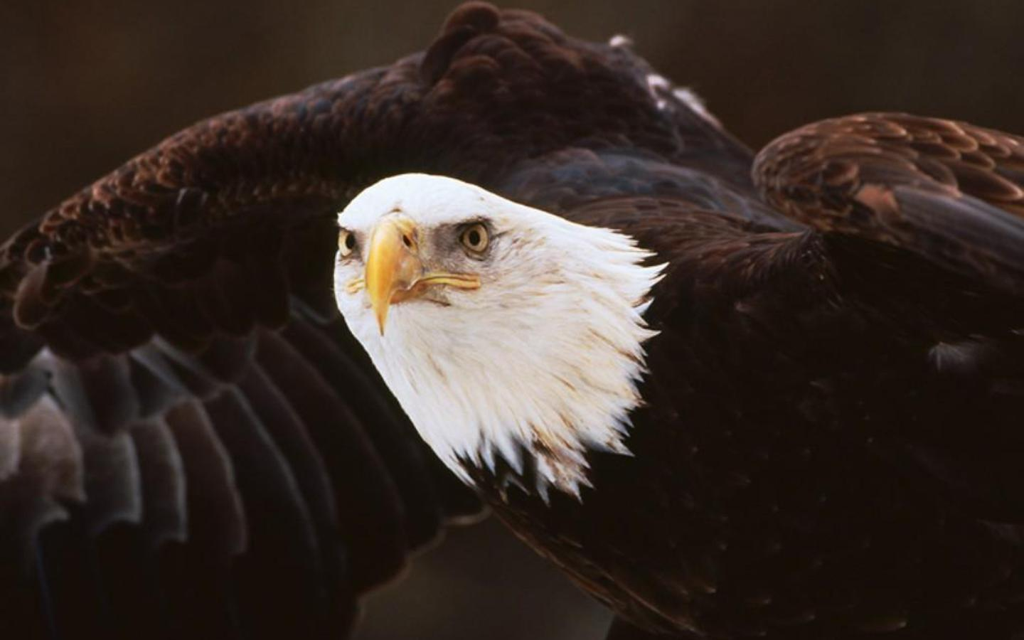 American Bald Eagle Wallpaper