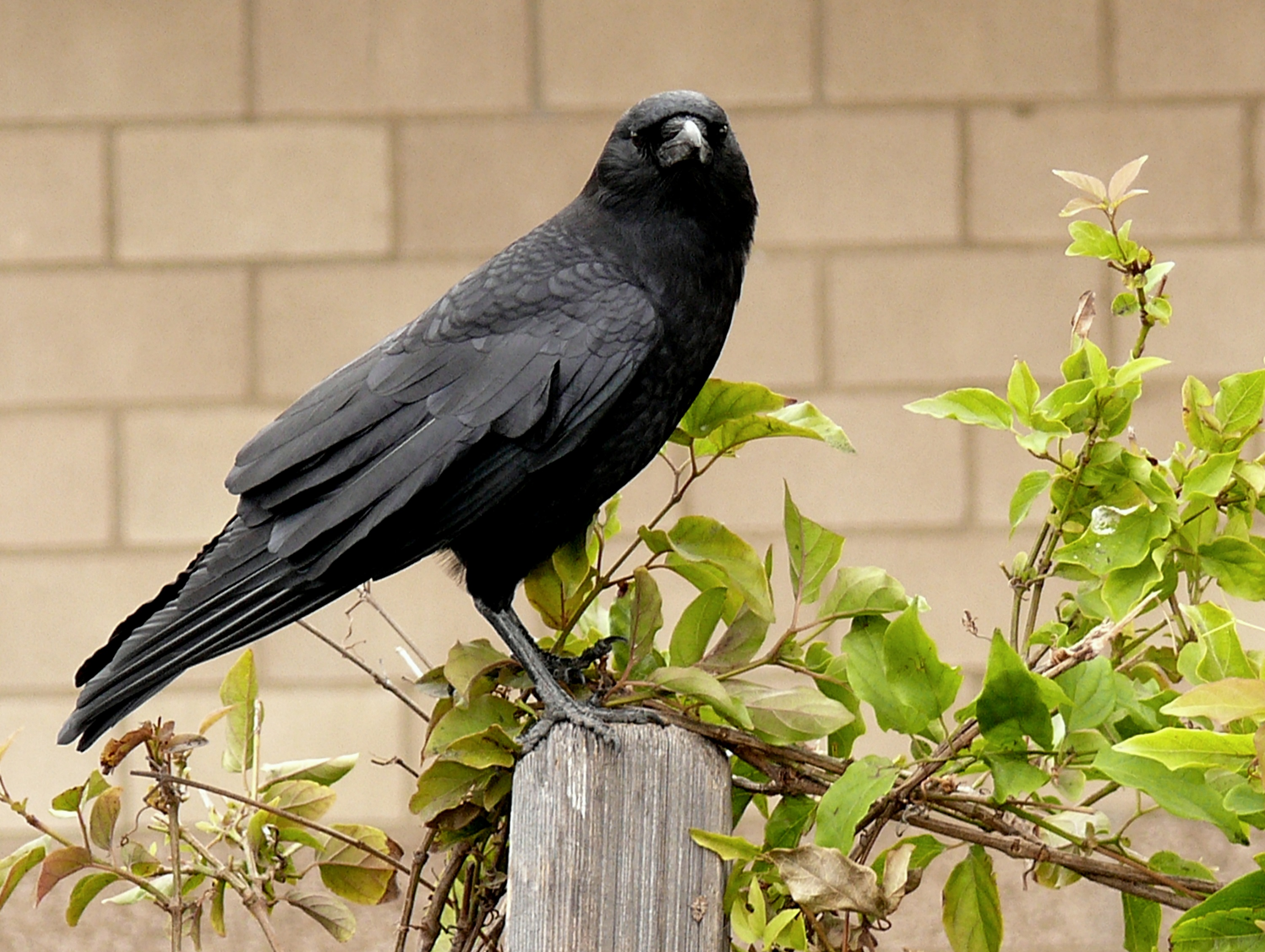 American Crow on the fence