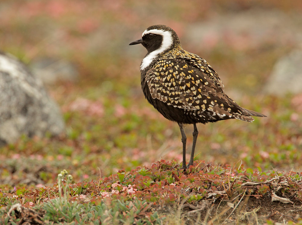 American Golden Plover on the grass