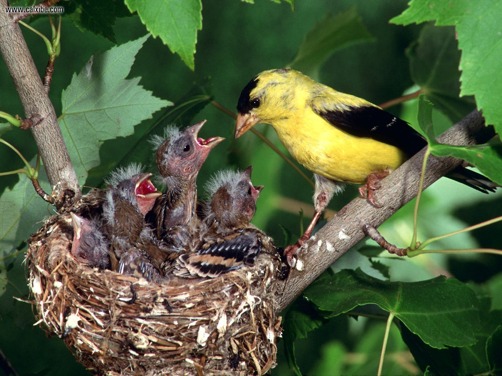 American Goldfinch family