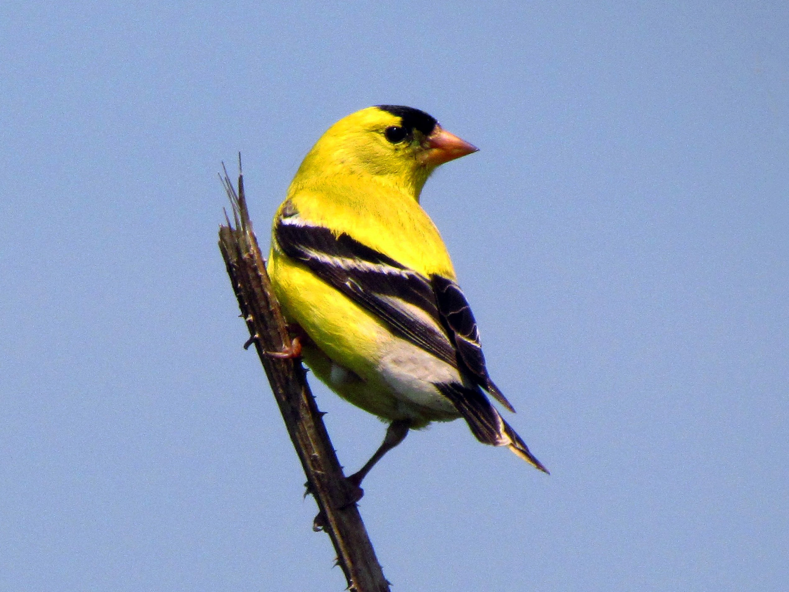 American Goldfinch sky