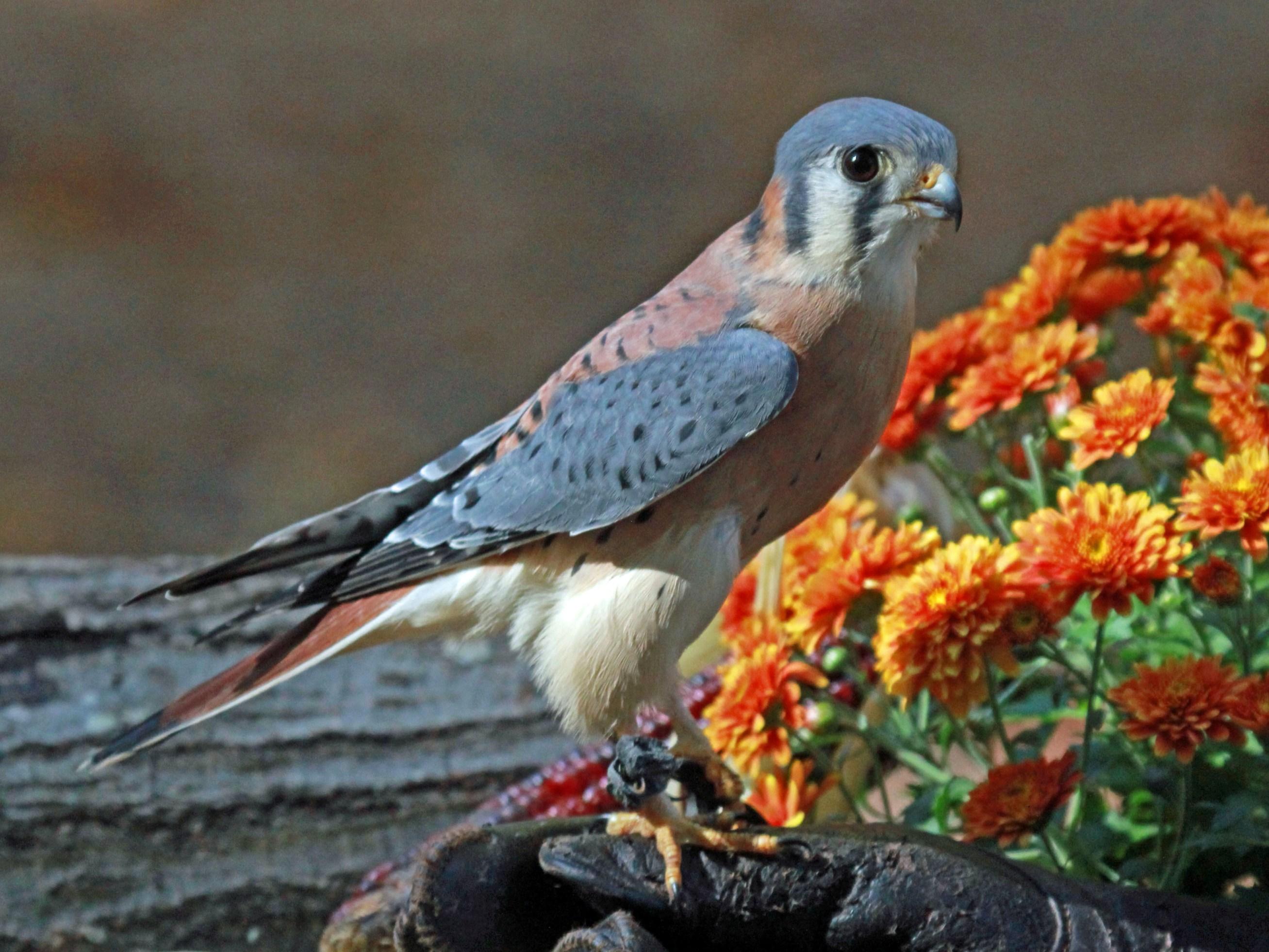 American Kestrel and flowers