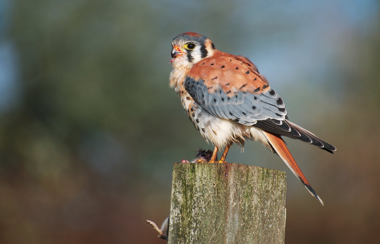 American Kestrel on a stump