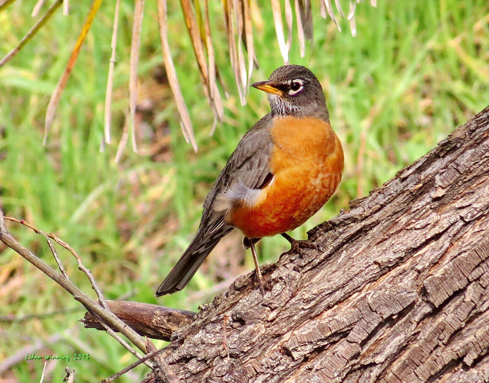 American Robin on the log