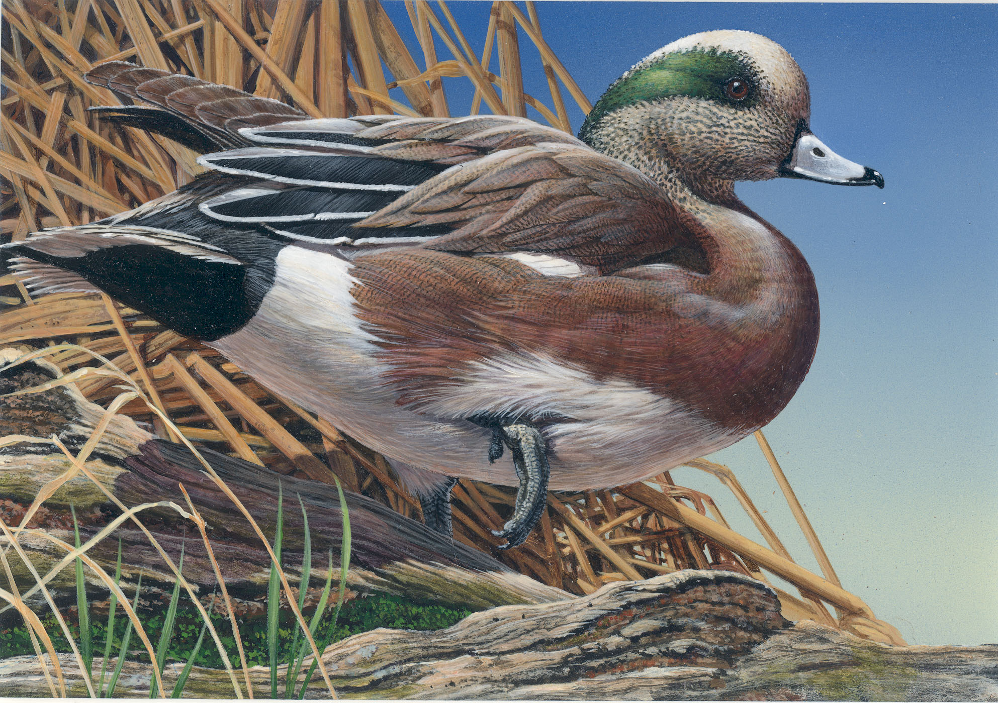 American Wigeon drawing
