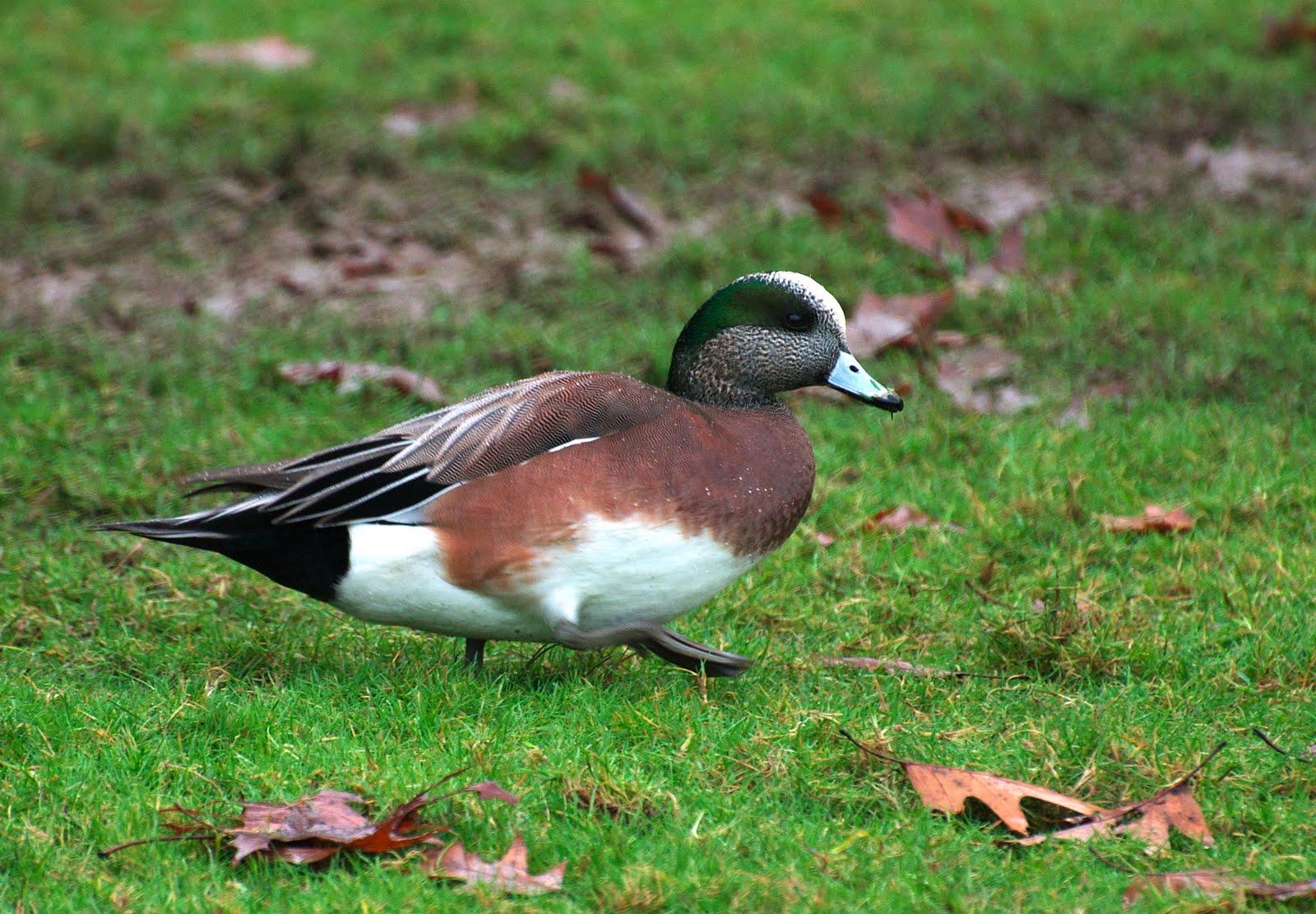 American Wigeon on the grass