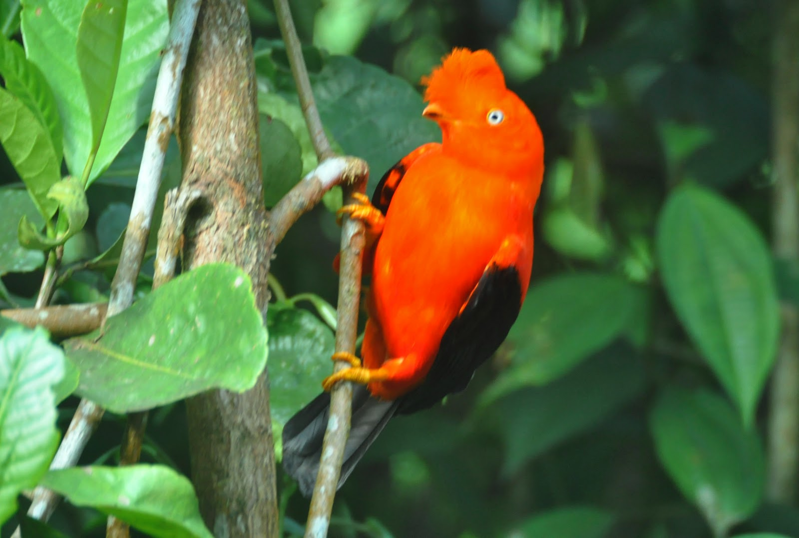 Andean Cock-of-the-rock on the branch