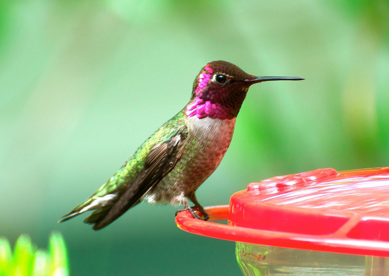Anna's Hummingbird near the feeder