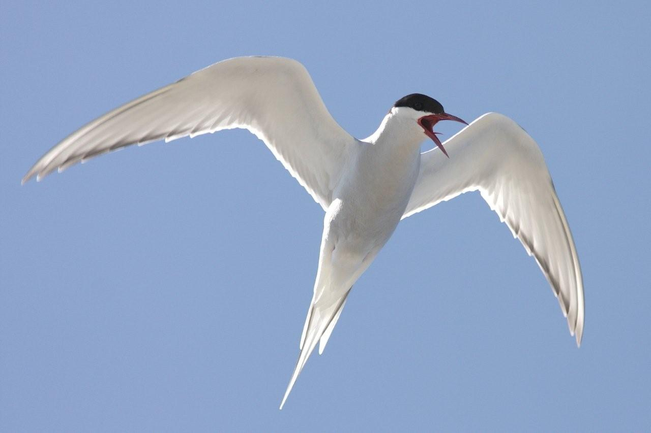 Antartic Tern in the sky