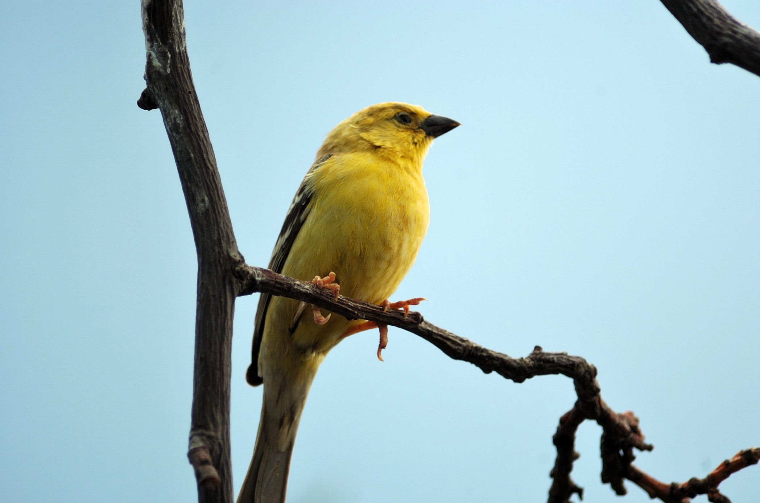 Arabian Golden Sparrow on the branch