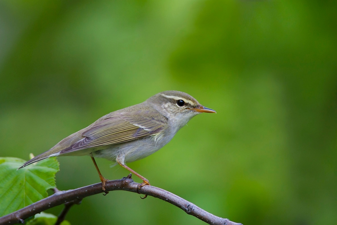 Arctic Warbler on the branch