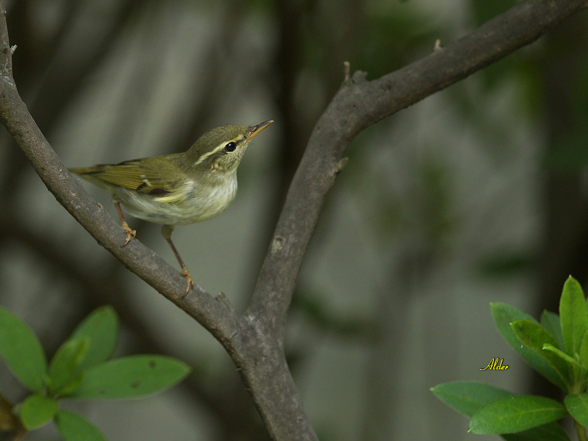 Arctic Warbler on the tree