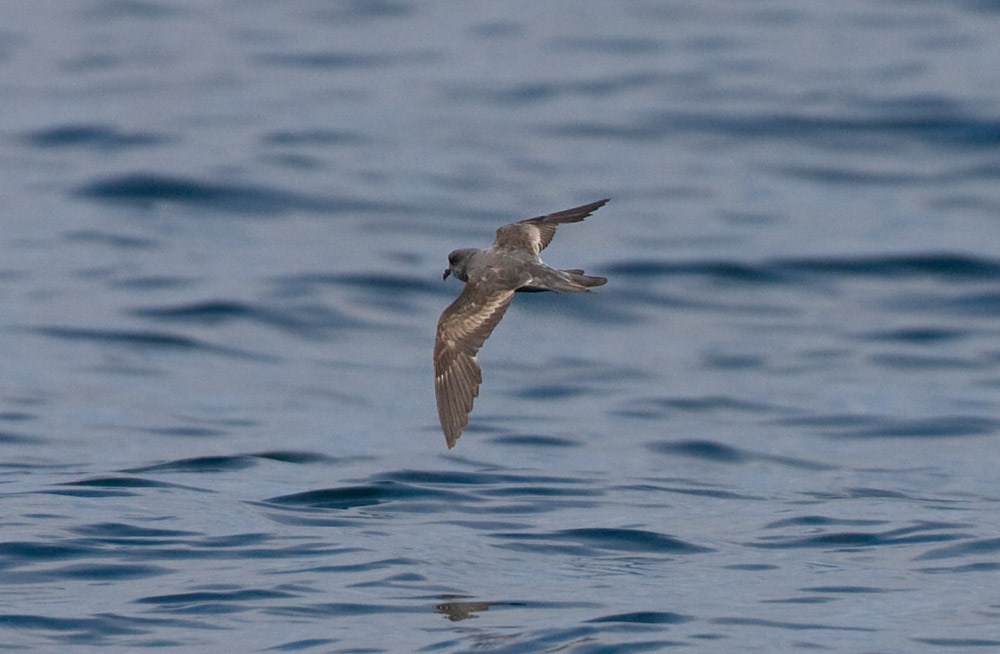 Ashy Storm Petrel on the sea