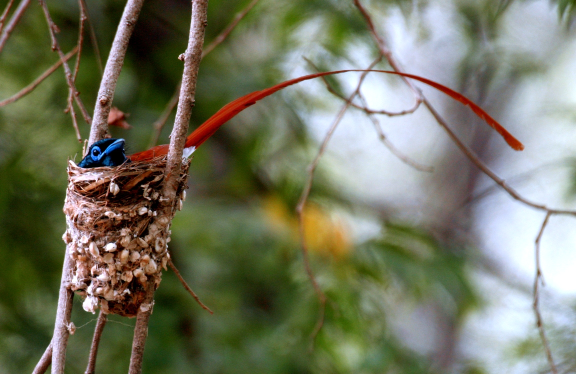 Asian Paradise-flycatcher in the nest