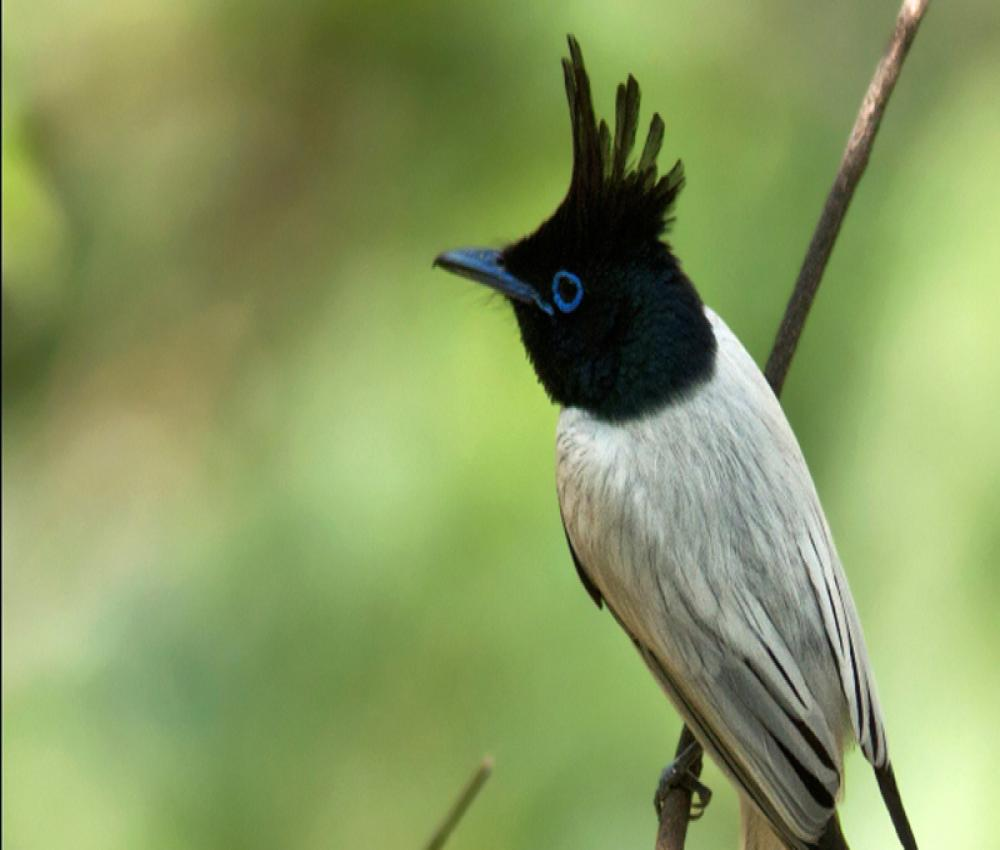 Asian Paradise-flycatcher side view
