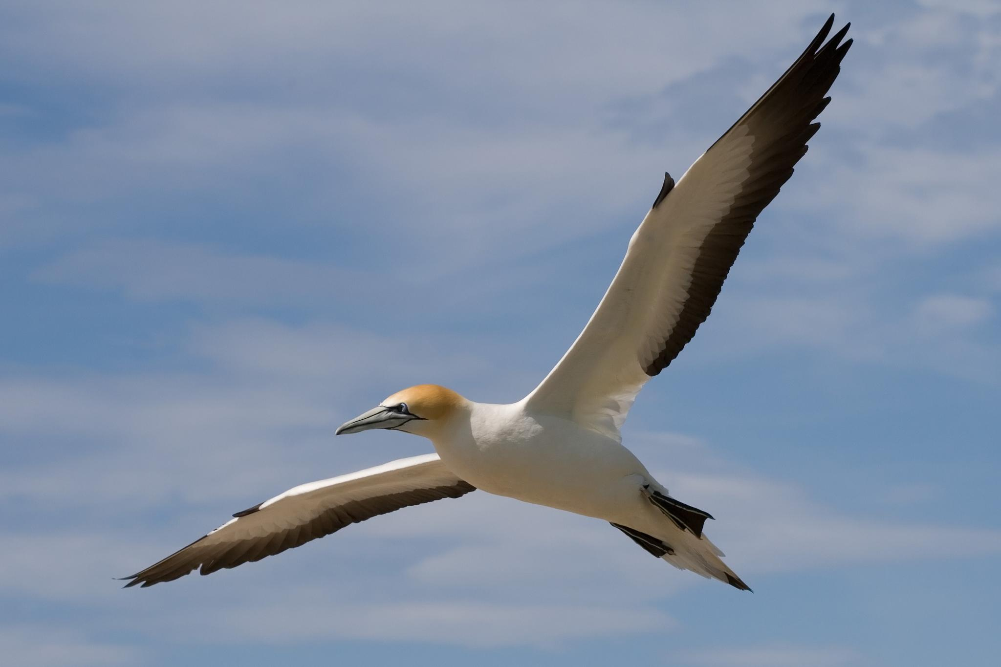 Australasian Gannet over sea