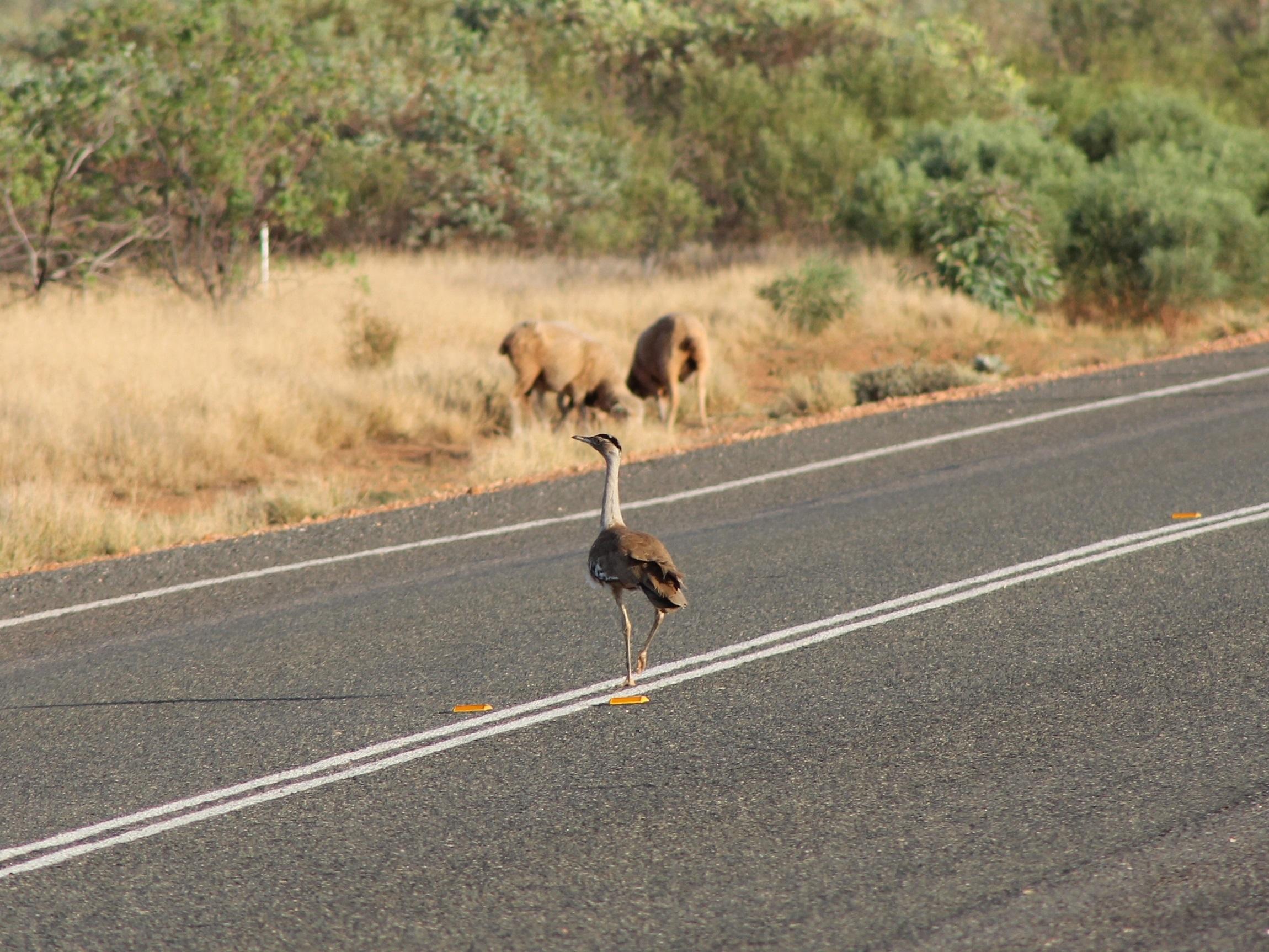 Australian Bustard on the road