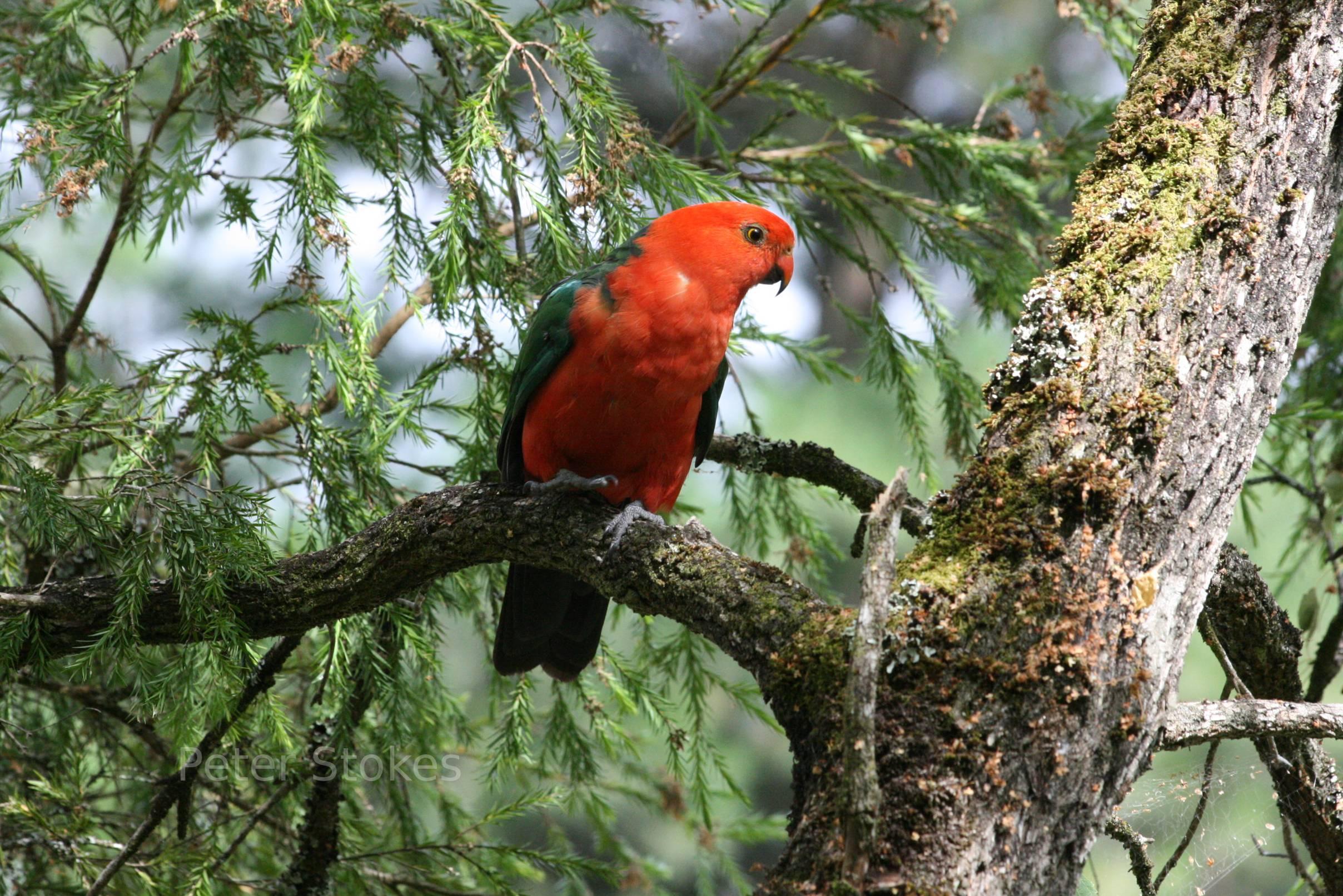 Australian King Parrot sitting on a tree