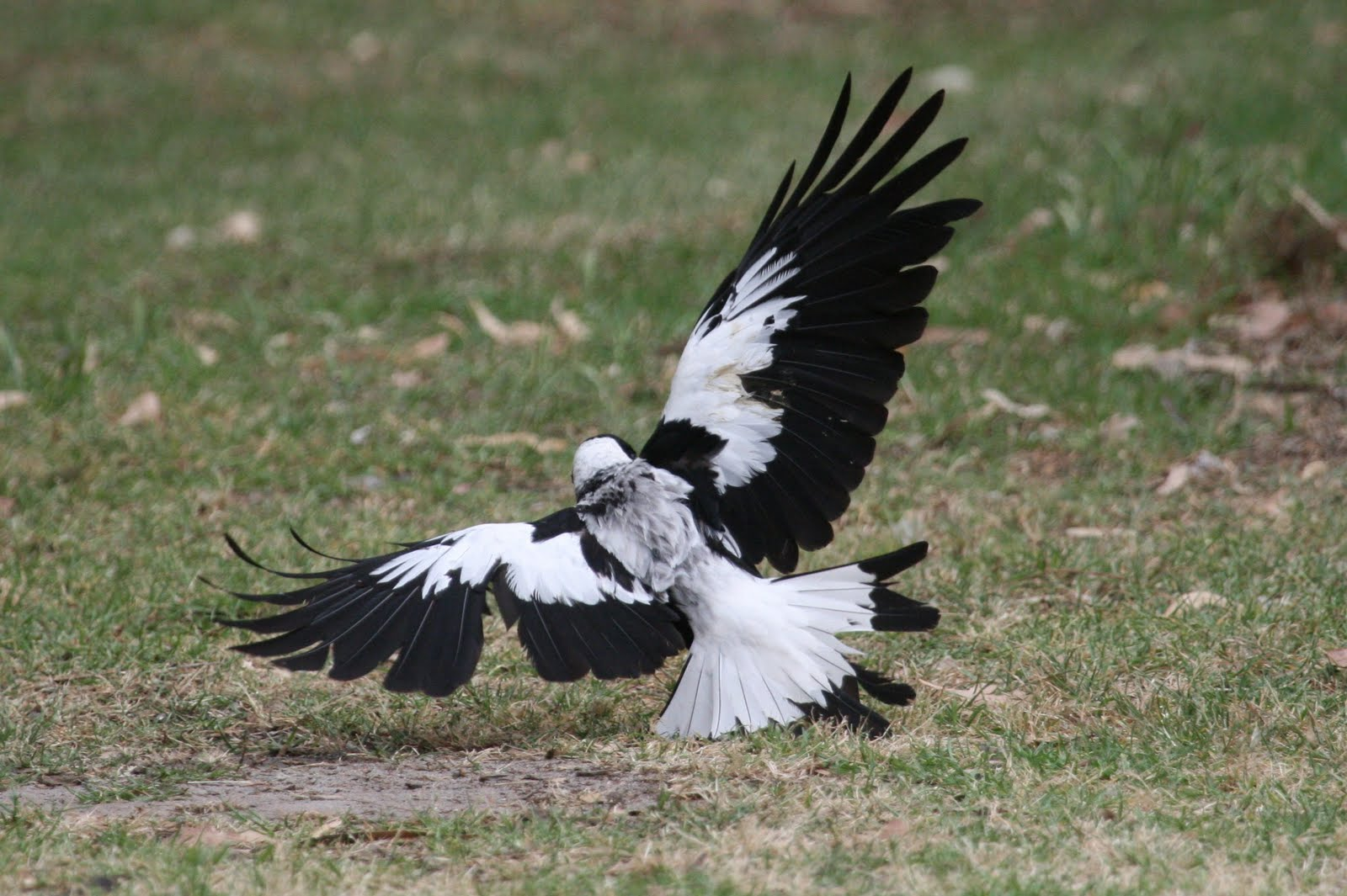 Australian Magpie preparing to fly