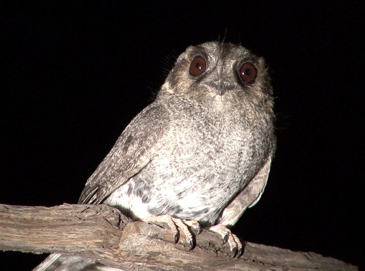 Australian Owlet-nightjar on the branch
