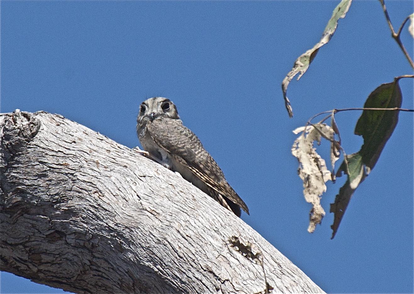 Australian Owlet-nightjar on the tree