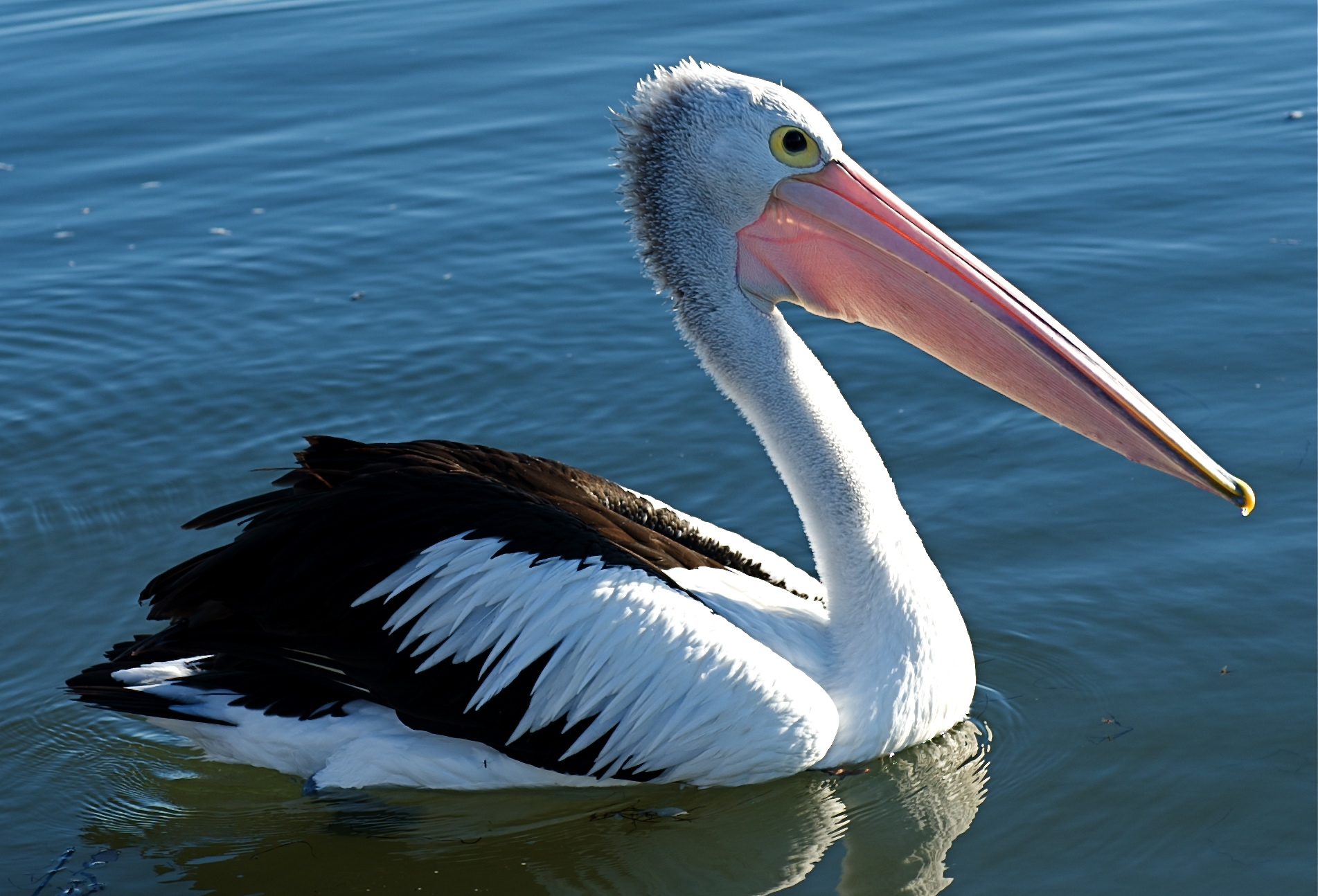 Australian Pelicans floats