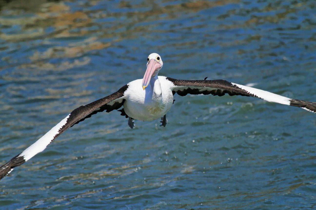 Australian Pelicans flying over sea