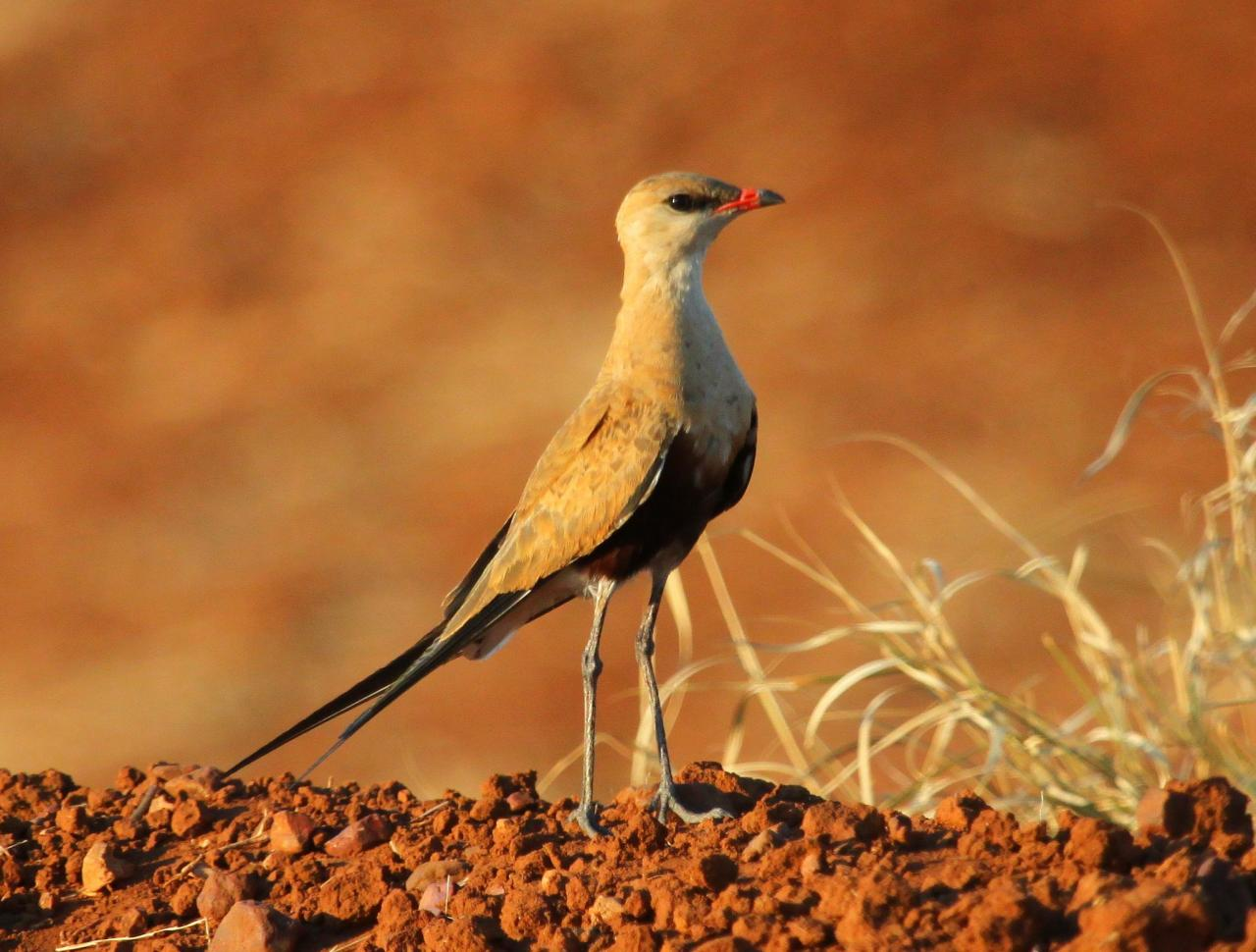 Australian Pratincole in the desert