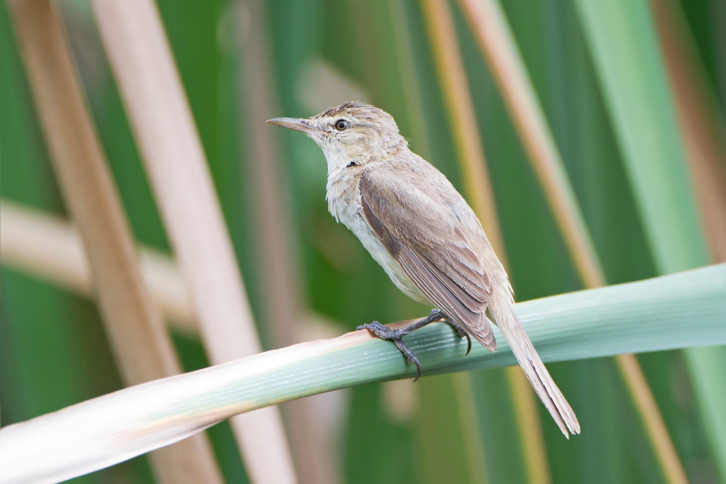 Australian reed warbler in the swamp
