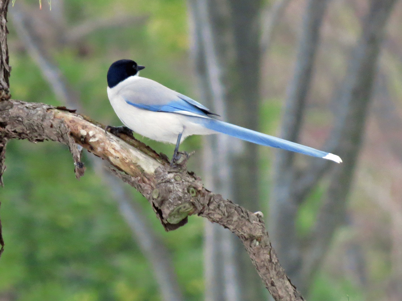 Azure-winged Magpie on the branch