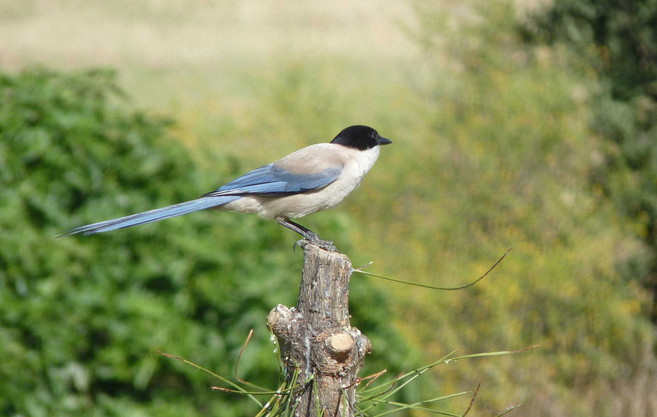 Azure-winged Magpie on the stump